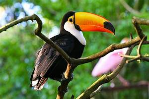 Toco Toucan Facts, Habitat, Diet, Life Cycle, Baby, Pictures