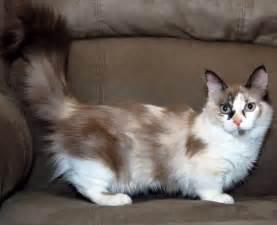 munchkin cats munchkin cat animals wiki pictures stories