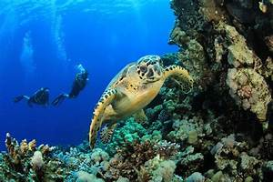 Hawksbill Turtle and Scuba Divers in the Red Sea | Sea ...