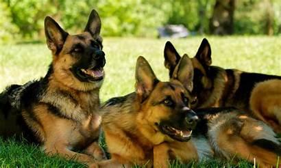 German Shepherd Wallpapers 4k 1080p Background Definition