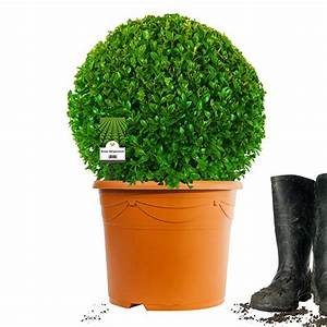 Buchsbaum Im Topf : buchsbaum kugel 35cm spitzenqualit t im topf gewachsen 6 jahre alt 10l ~ A.2002-acura-tl-radio.info Haus und Dekorationen