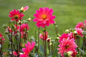 Blumen Im Sommer : kostenlose bild rosa blumen gro e bl ten nektar blumen blumen sommer ~ Whattoseeinmadrid.com Haus und Dekorationen