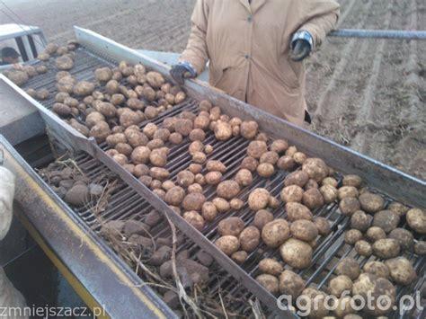Ziemniaki Kuras - zdjęcie, fotka, foto numer: 469349 ...