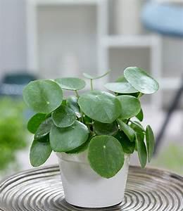 pfannkuchenpflanze 1a zimmerpflanzen online kaufen With garten planen mit exotische zimmerpflanzen online kaufen