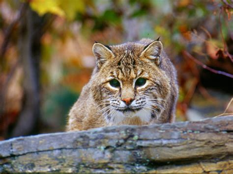 The Surprisingly Common Bobcat Finger Lakes Land Trust