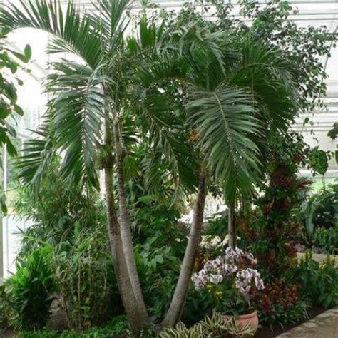 achat du palmier bambou ou palmier chinois acheter au meilleur prix de vente