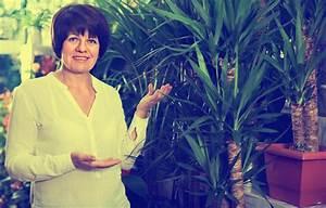 Yucca Palme Pflege : yucca palme pflegen gie en d ngen schneiden und mehr palmlilie ~ Eleganceandgraceweddings.com Haus und Dekorationen