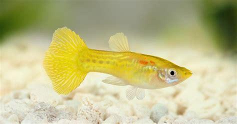 types  guppies fish disease    treat