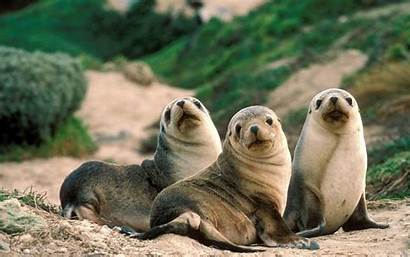 Seal Sea Lion Wallpapers Animal Lions Seals