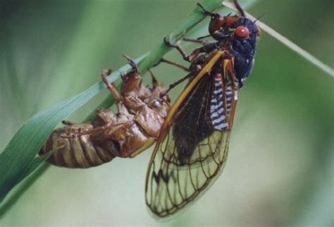video of the week cicada swarmageddon visionlearning blog