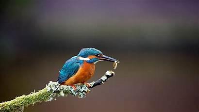 Kingfisher Wallpapers Birds Ubuntu Bird Nature Hunting