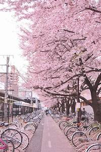 cherry blossom tree on Tumblr