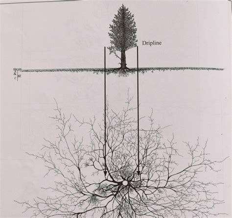 cedar tree root system pine tree root system diagram bing images