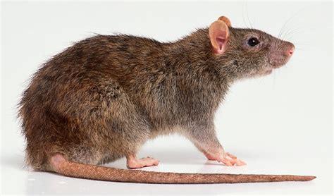 picture of a rat boiler rat power plant men