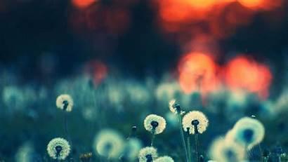 Nature Imac Desktop Wallpapers Dandelion Flower Papers