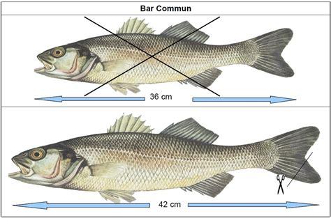 bar dorade maigre maquereau de nouvelles mailles adopt 233 es la p 234 che et les poissons
