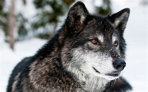 Download Awesome Wolf Up Close Wallpaper 39805 3840x2400