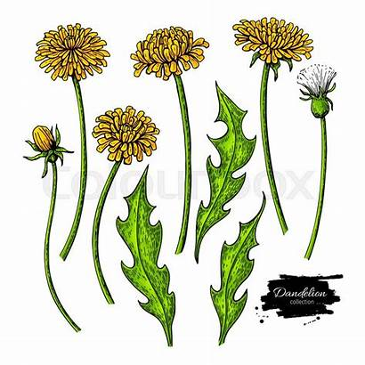 Dandelion Drawing Flower Plant Sketch Vector Isolated