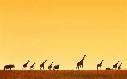Africa Wallpapers Giraffe