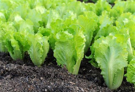 coltivare lattuga in vaso coltivazione lattuga coltivazione ortaggi come