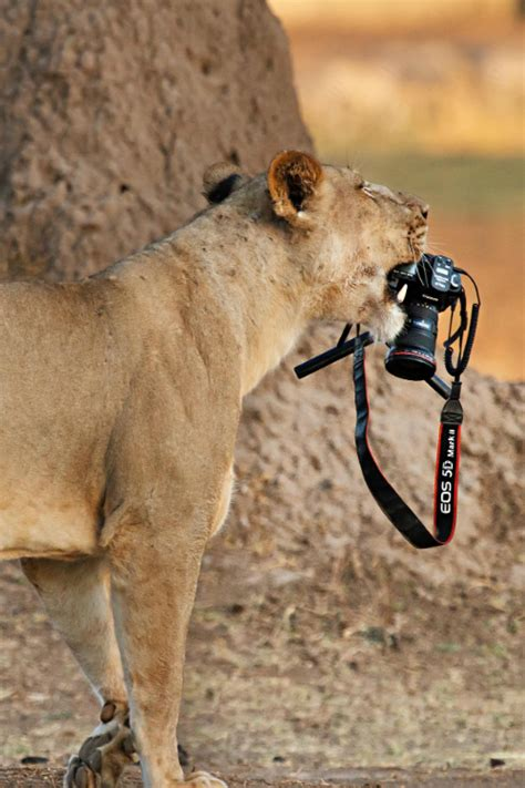 animal photography  lioness   camera