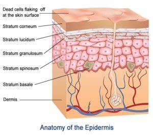 What is the epidermis?
