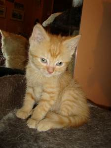 SWEET PERSIAN CROSS GINGER TABBY FEMALE*READY NOW ...