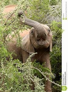 Young Elephant Eating Leaves Stock Photo - Image: 8192170