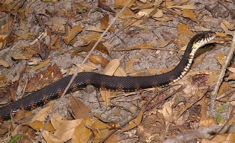 Banded Water Snake, south Georgia, USA   Banded Water ...