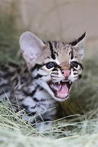 """""""Miracle"""" Ocelot Kitten Born at Cameron Park Zoo - ZooBorns"""