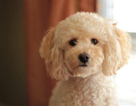 portrait  margaret alice animalsbella poodle