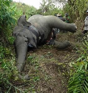 Poachers are killing endangered Asian elephants for their ...