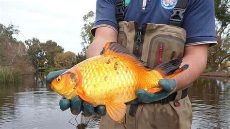 wie groß werden goldfische warum du deine goldfische niemals in freie wildbahn aussetzen darfst curioctopus de