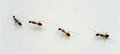 Cupboards For Kitchen by How To Get Rid Of Ants And Keep Them Away For Good