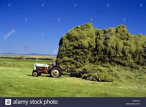 Farmer stacking timothy grass hay for horse feed in Big ...