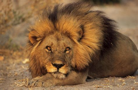 Weekly Update: Animals Committee Meeting Covers Lions