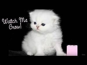 Teacup Persian Kittens for sale ,Watch a Persian kitten ...