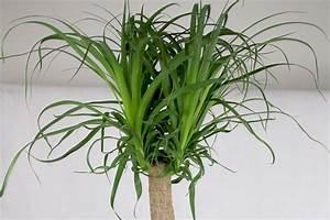 Yucca Palme Pflege : riesen palmlilie yucca elephantipes pflege der beliebten zimmerpflanze ~ Eleganceandgraceweddings.com Haus und Dekorationen