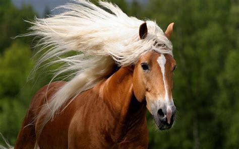 red horse  beautiful white mane hd desktop wallpaper