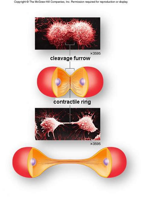 cytokinesis  occur  occurs differently