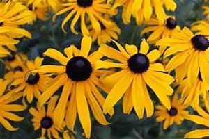 Sonnenhut Pflanze Kaufen : leuchtender sonnenhut 39 goldsturm 39 rudbeckia fulgida var sullivantii 39 goldsturm 39 baumschule ~ Buech-reservation.com Haus und Dekorationen
