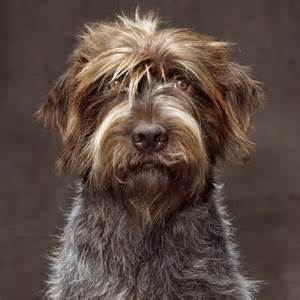 wirehaired pointing griffon natgeo s photo on instagram