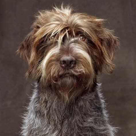griffon german wirehaired pointer shedding wirehaired pointing griffon natgeo s photo on instagram