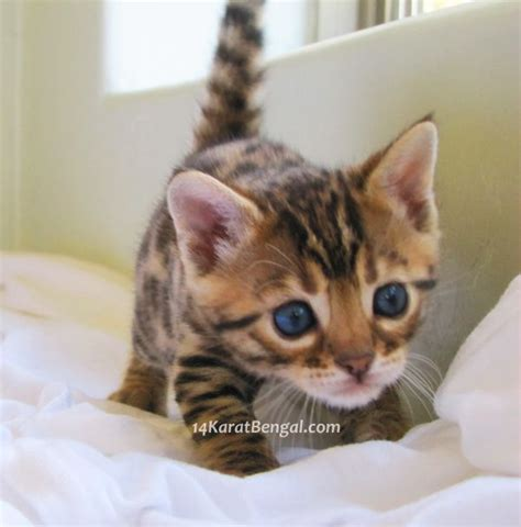 Kittens For Sale by 25 Best Ideas About Kitten For Sale On