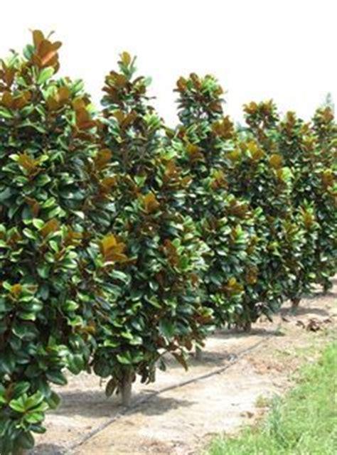 magnolia tree varieties australia magnolia grandiflora little gem or teddy bear dwarf varieties make beautiful evergreen