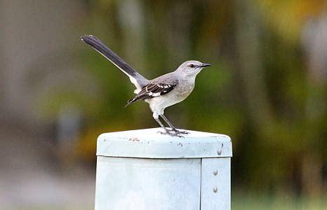 mockingbird testo brezpla芻na fotografija prosto 蠕ive芻e 蠕ivali ku蝪芻ar