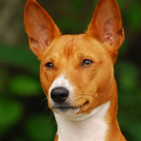 Non Shedding Small Dogs Uk by Basenji Dog Breed Information And Facts