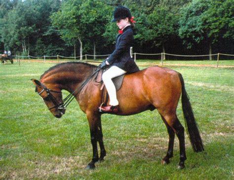 horse caspian connemara pony rare breeds horses caspians