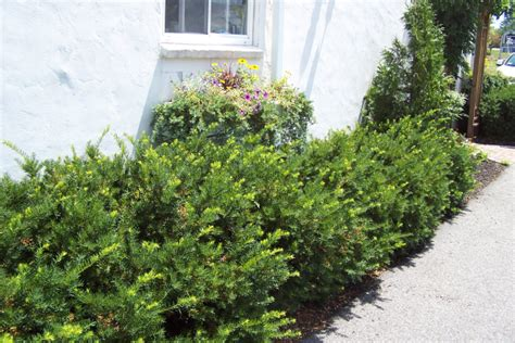 pruning yew trees landscape field videos how to prune a yew