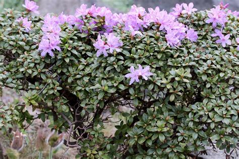 Kübelpflanzen Für Den Schatten by Rhododendron Russatum Gletschernacht Steckbrief Und